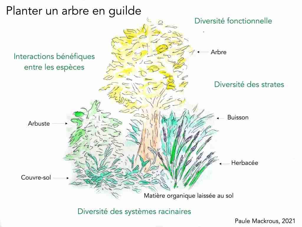 Planter un arbre en guilde - guilde de permaculture - biodiversité fonctionnelle - Paule Mackrous, 2021